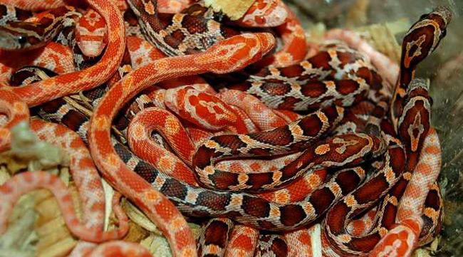 В Англии отец украл ради дочери змей