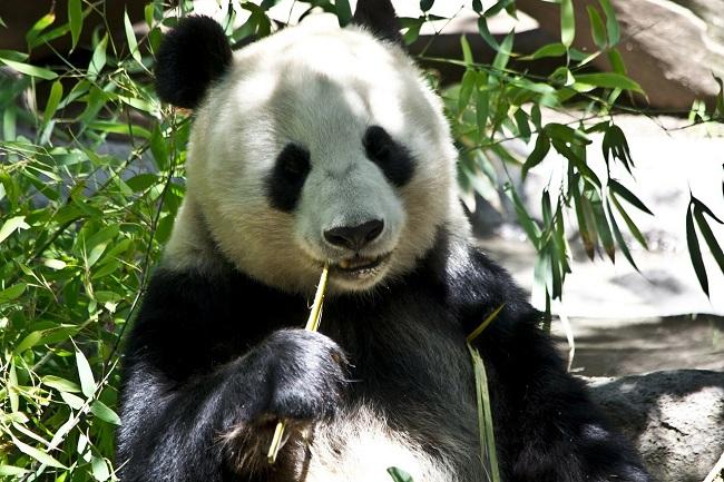 Китаец получил 80 000 долларов за укус дикой панды