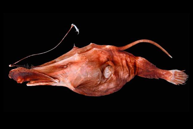 Ученые обнаружили новый вид глубоководных рыб