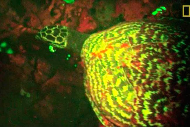 Обнаружена первая в мире светящаяся черепаха