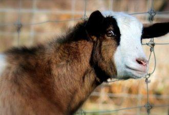Как козы падают в обморок?