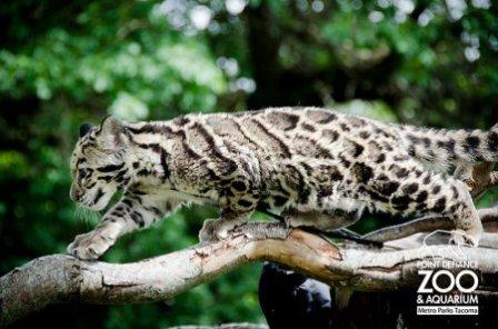 А вы видели как играют дымчатые леопарды?