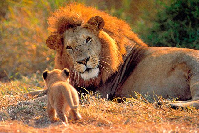 Популяция львов в Африке может уменьшиться на 50%