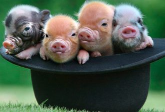 Подопытные микро-свиньи могут стать вашими домашними питомцами