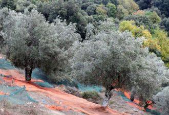 Оливковым рощам Европы угрожает смертоносная бактерия