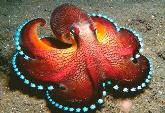 Сердце осьминога