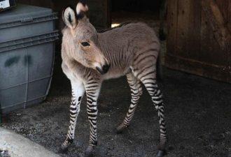 Гибрид зебры и осла - зонки в зоопарке
