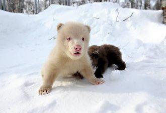 Бурый медведь - альбинос