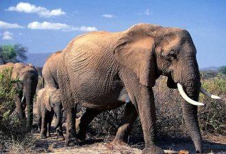 За право поохотиться на слона придется выложить 20,000 USD