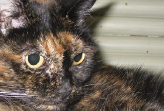 самой старейшей кошкой в мире является Тифани Вторая, которая живет в Калифорнии