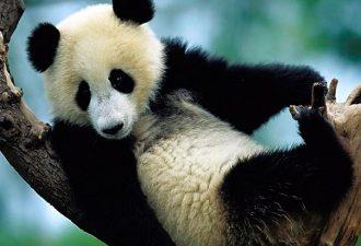 Китайские и американские ученые предупреждают о вымирании панд