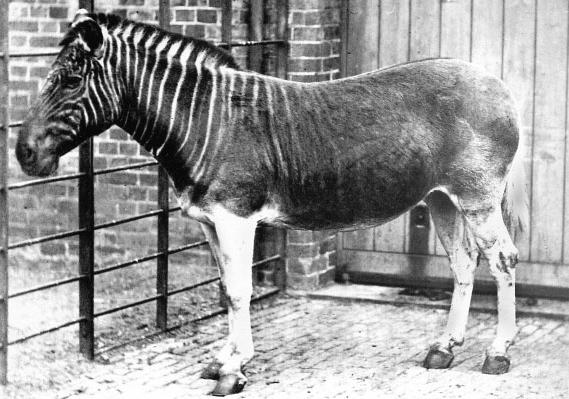 Квагга - вымерший подвид равнинной зебры