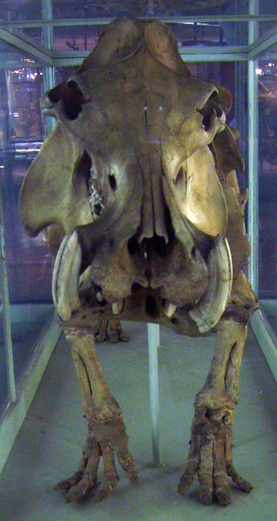 Малагасийский гиппопотам