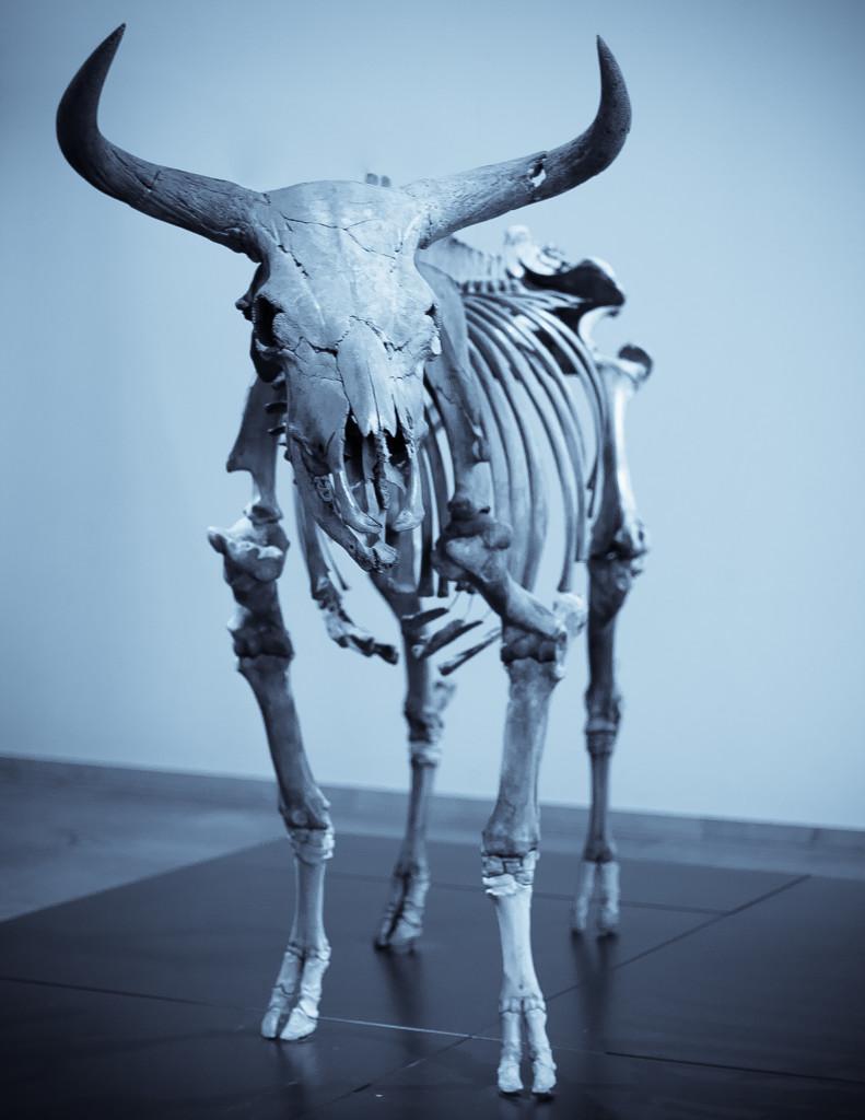 Aurochs - вымерший тип крупного дикого скота