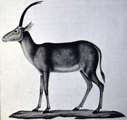 Голубая или синяя антилопа