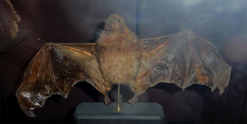 Маленькая мавританская летающая лиса