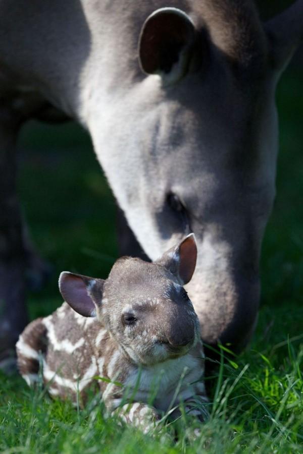 Семейство тапиров в Дублинском зоопарке