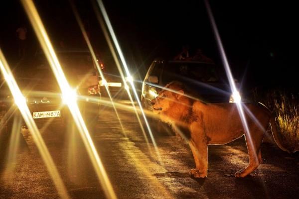 Ночная львиная охота