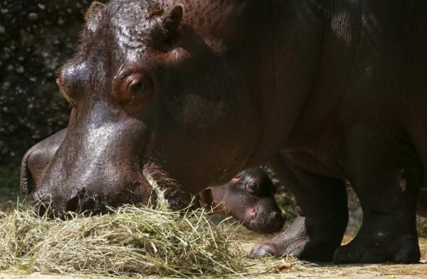 Семейство бегемотов в зоопарке Цюрих