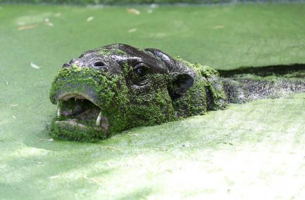 Пигмейские бегемоты в зоопарке Whipsnade