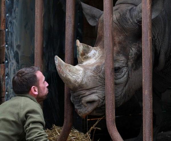 Носорог со своим опекуном в парке диких животных в Порт-Лимпне возле Ашфорда, Кент.