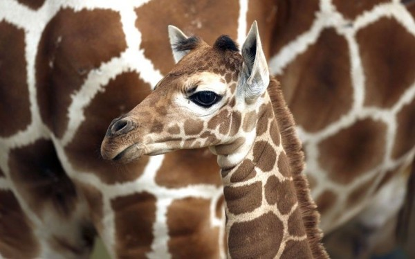 Детеныш жирафа, родившийся в зоопарке Комо в Св. Павле всего неделю назад.