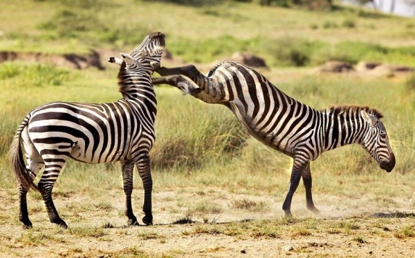 Борьба между двумя жеребцами Зебры в Нгоронгоро, Танзания