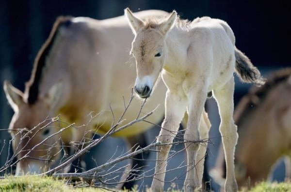 Новорожденный жеребенок Пржевальски