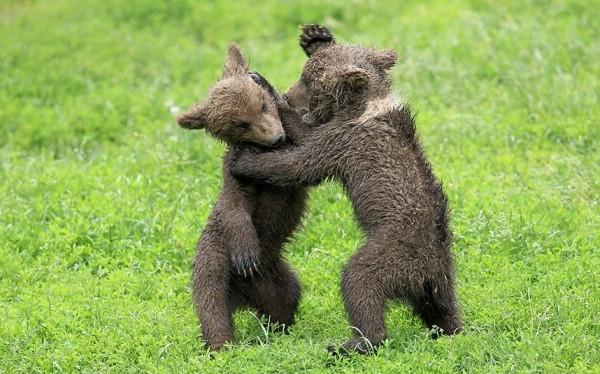 Медвежата игриво сражаются в парке Трипсдрилл, Германия.