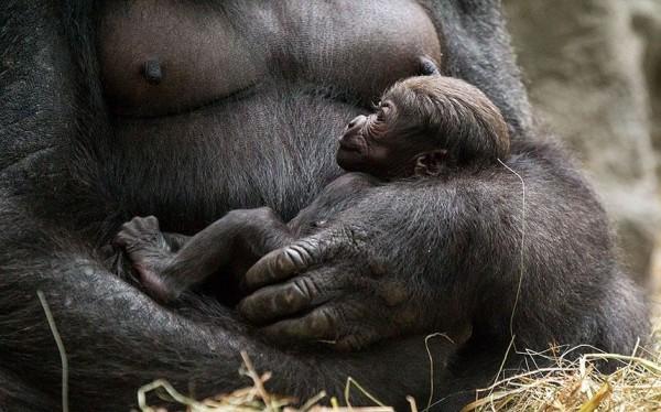 Новорожденный детеныш гориллы в зоопарке Буффало.