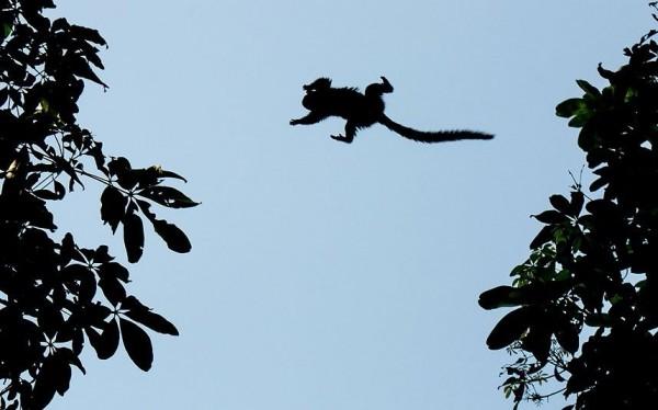 Дикая обезьяна прыгает между деревьями в Рио-де-Жанейро, Бразилия.