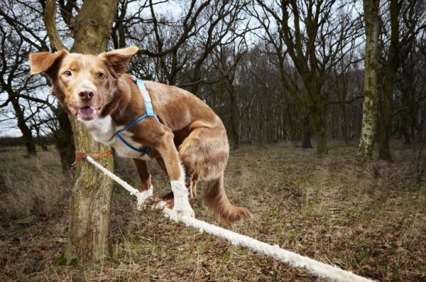 Собаку- канатоходец