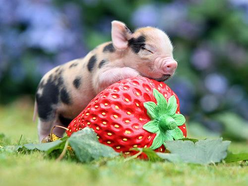 Карликовая свинка