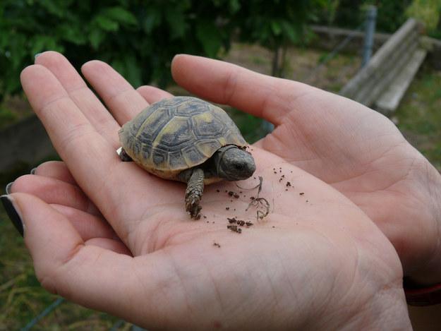 Крошечная черепаха