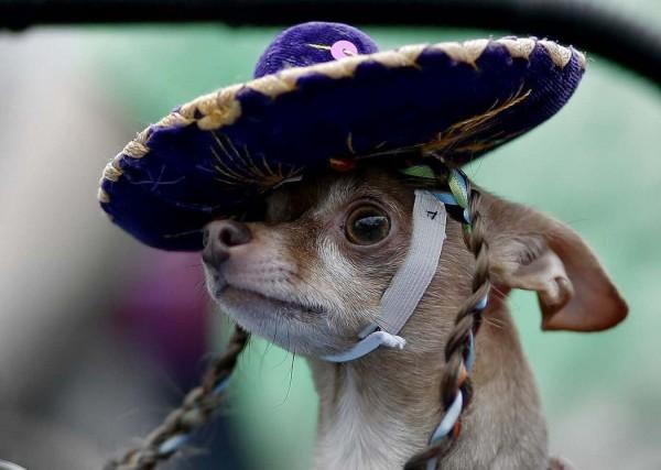 Чихуа-хуа на параде в Сан-Антонио, США.