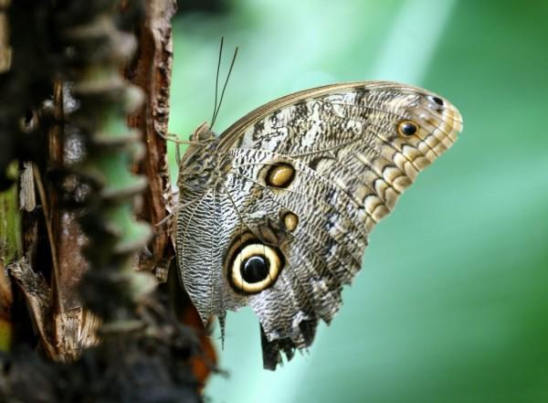 Бабочка- сова в Крефельде, Германия.