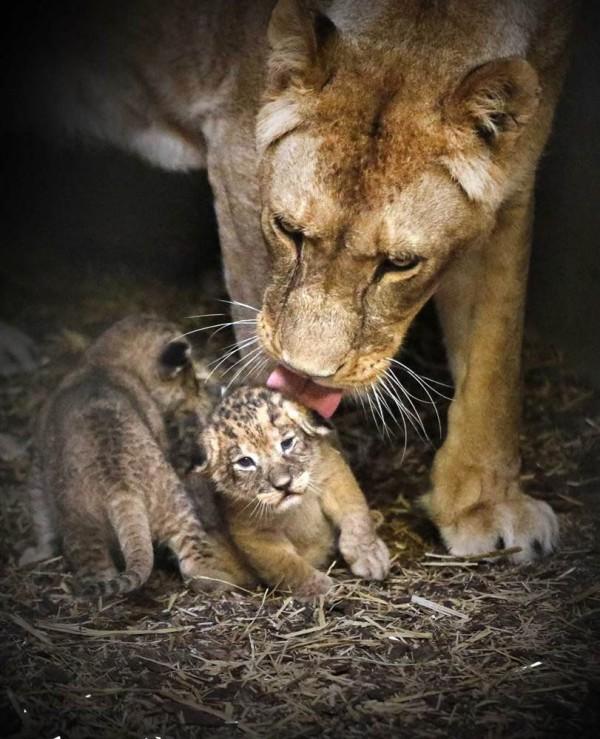 Львица с котятами зоопарка «Эммен», Нидерланды.