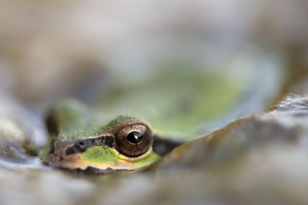 Тихоокеанская лягушка, штат Орегон, США.